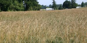 Oregon Grass Seed - Turf and Forage Seed Crops